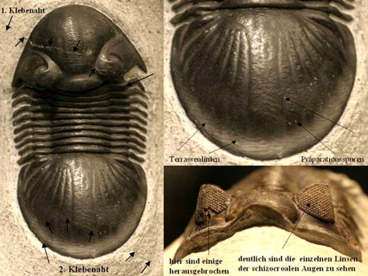 Two authentic trilobites which exhibit detailed structures