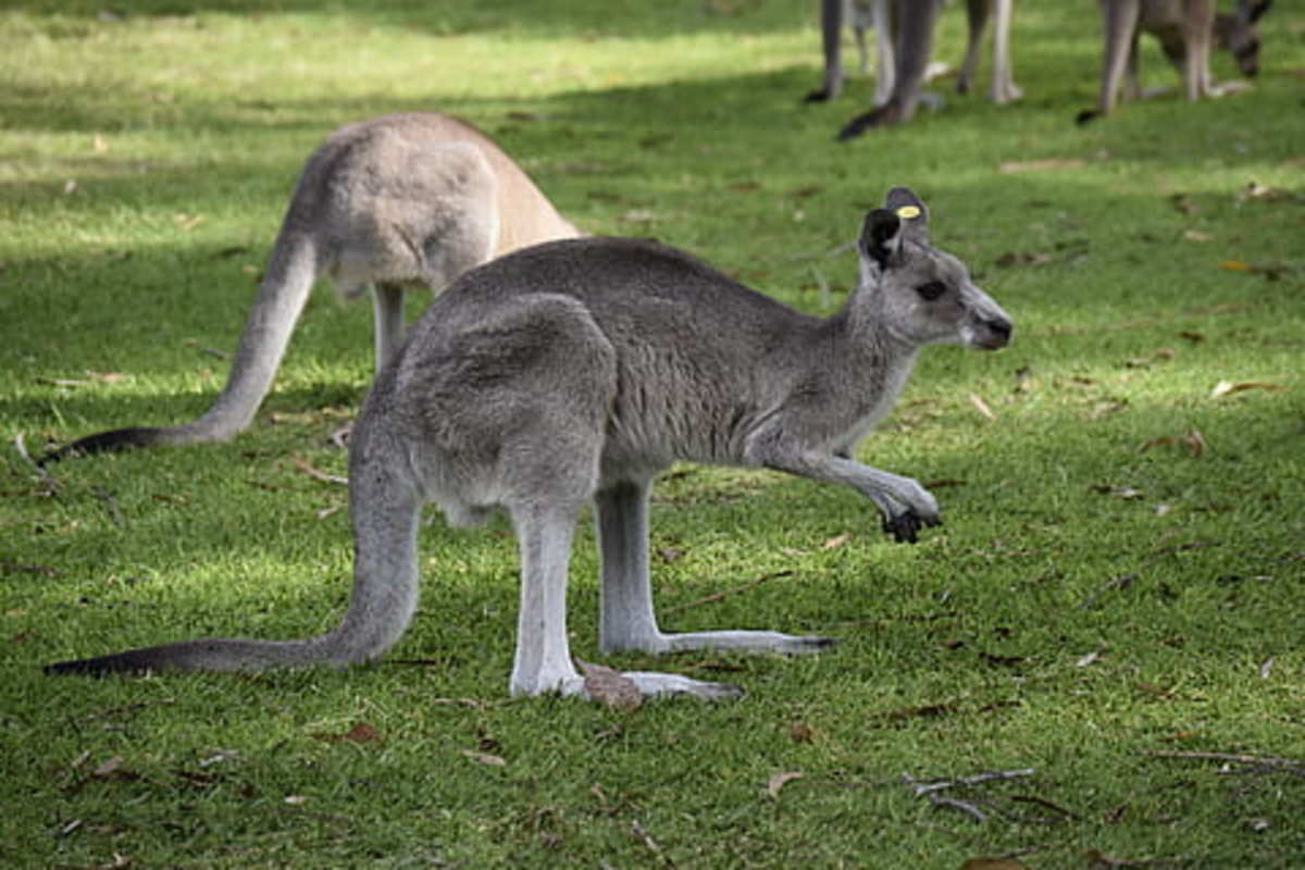 things-you-dont-know-about-wildlife-in-australia-kangaroos-are-more-than-humans