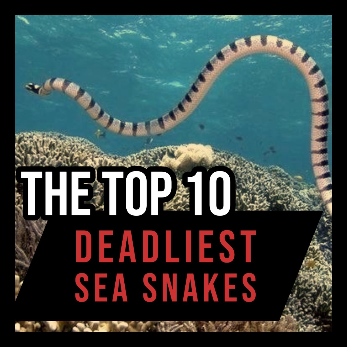From the yellow-bellied sea snake to the yellow-lipped sea krait, this article ranks the world's deadliest sea snakes!