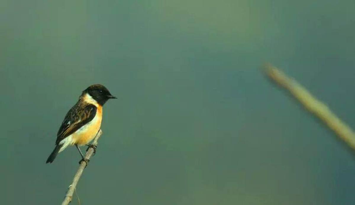 Common Buschat Bird