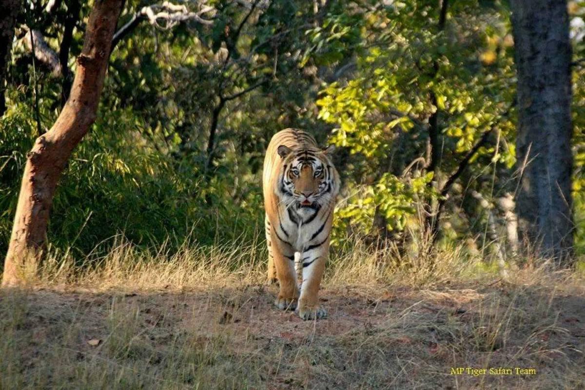 Tiger Mael