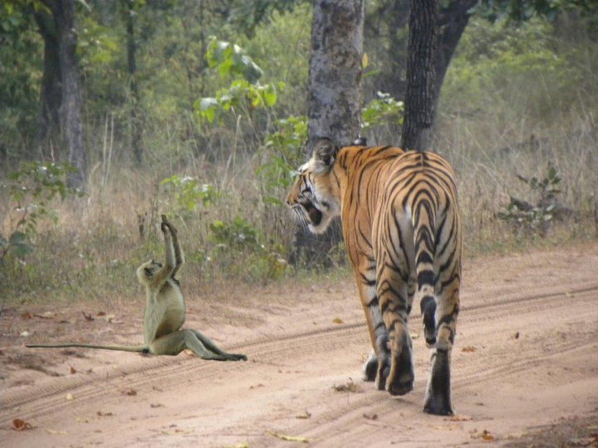Tiger and Lngur
