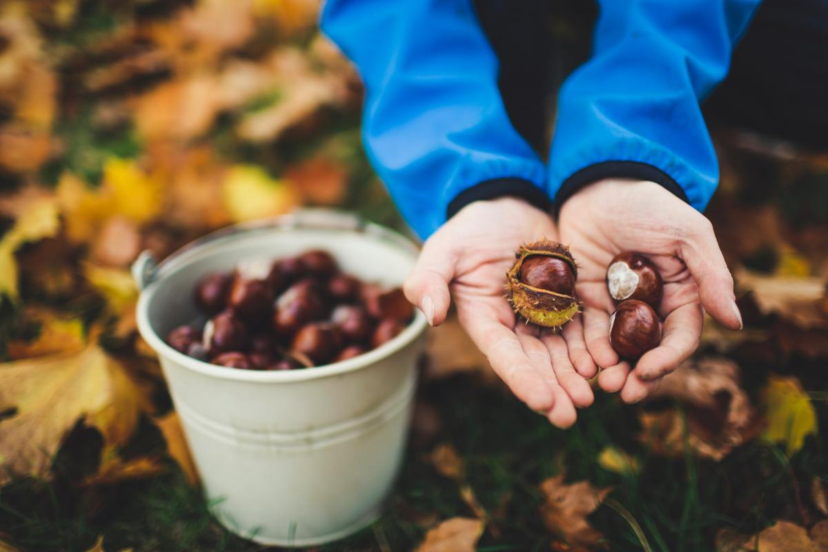 Chestnuts can be roasted to make a mouthwatering stuffing