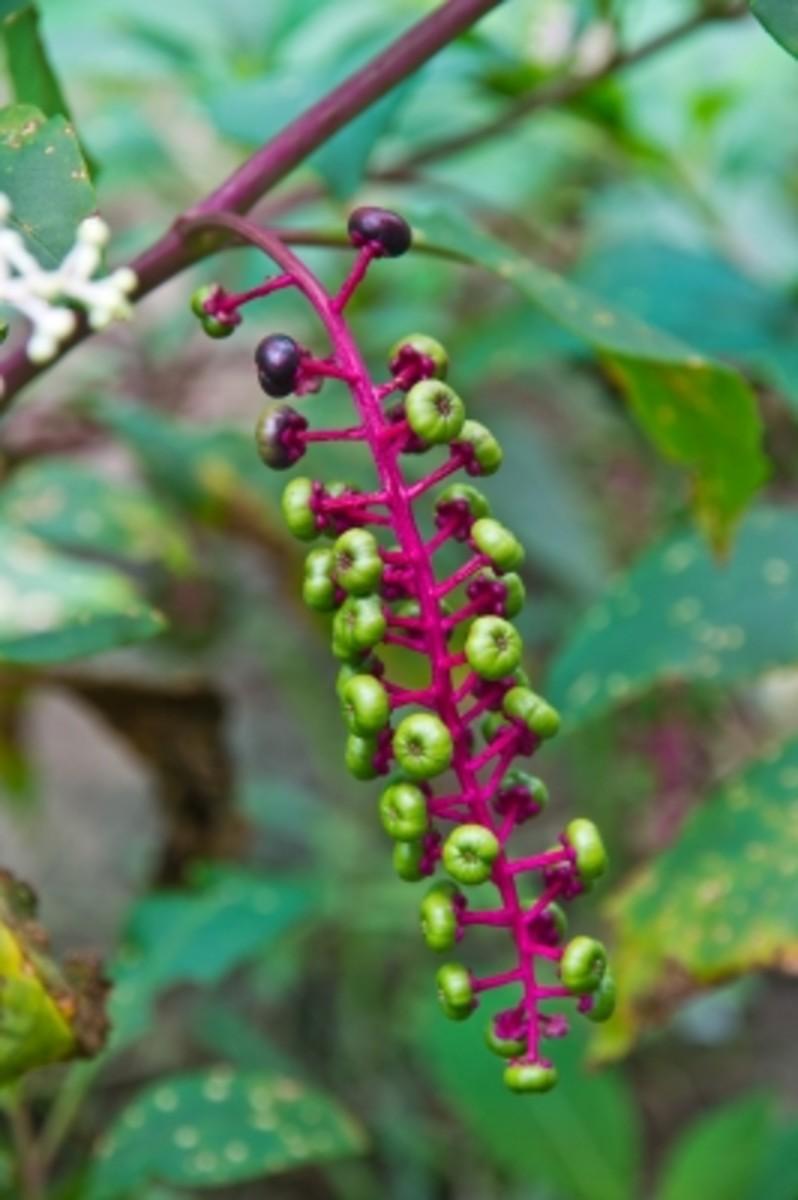 Ginkgo Biloba, Ginseng, Ginger Miraculous Healing Plants. Living the Natural Life.
