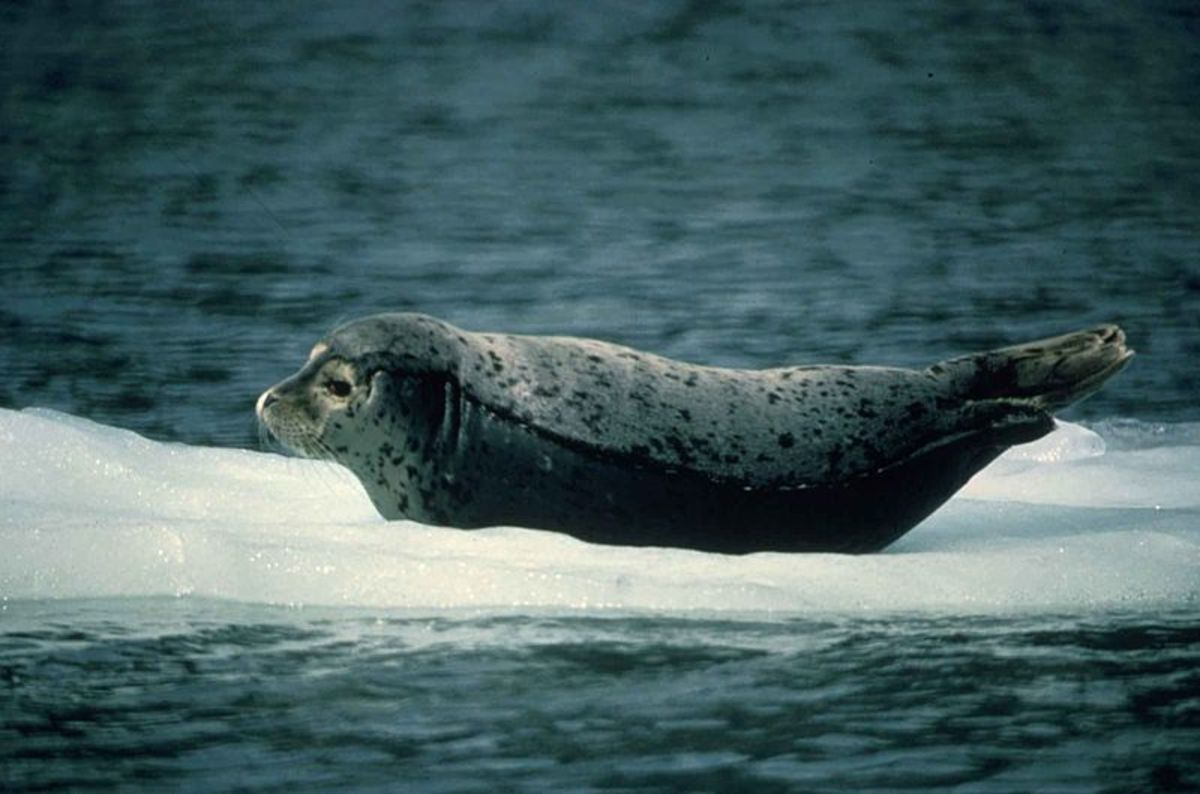 Harbor seal on ice.  Photo by Sue Mattews; image courtesy photographer and Wikimedia Commons.