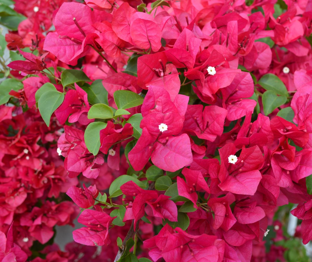 """Bougainvillea (pronounced """"boo-gan-vee-ah"""") is a showy and prolific vine that will climb a wall or  trellis, or tumble over a fence."""