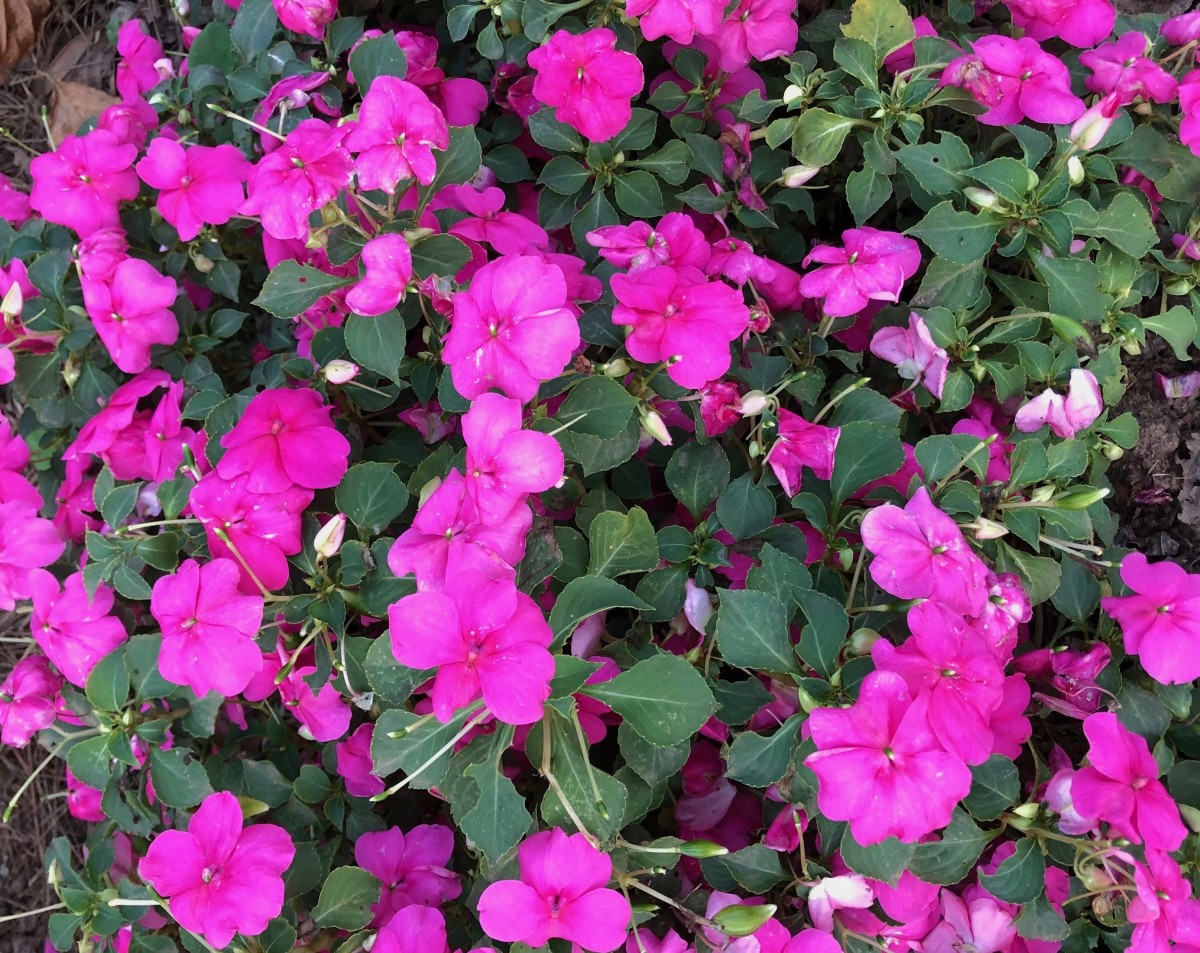 Impatiens are popular shade loving flowers. They look great paired with hosta and ferns in shade gardens.