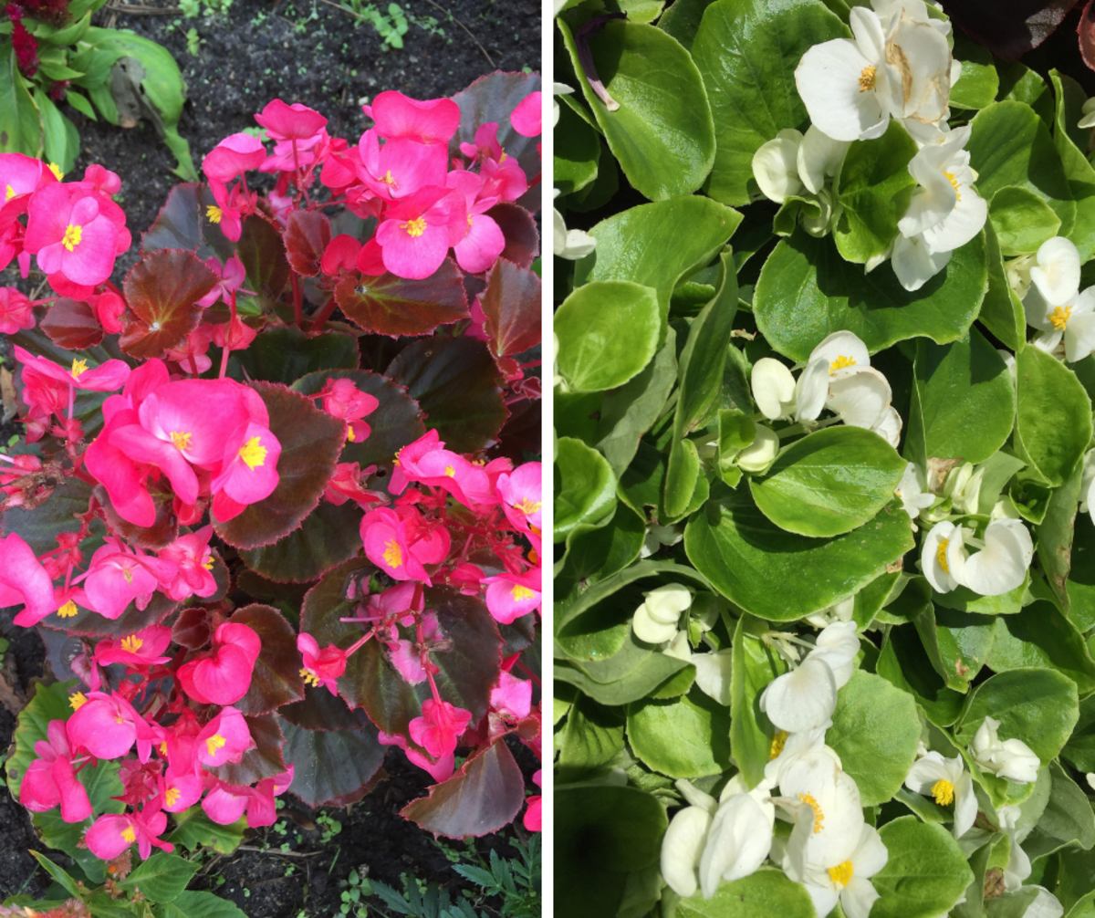 Waxed begonias are shade-loving plants that can easily take morning sun, and they come in several colors.