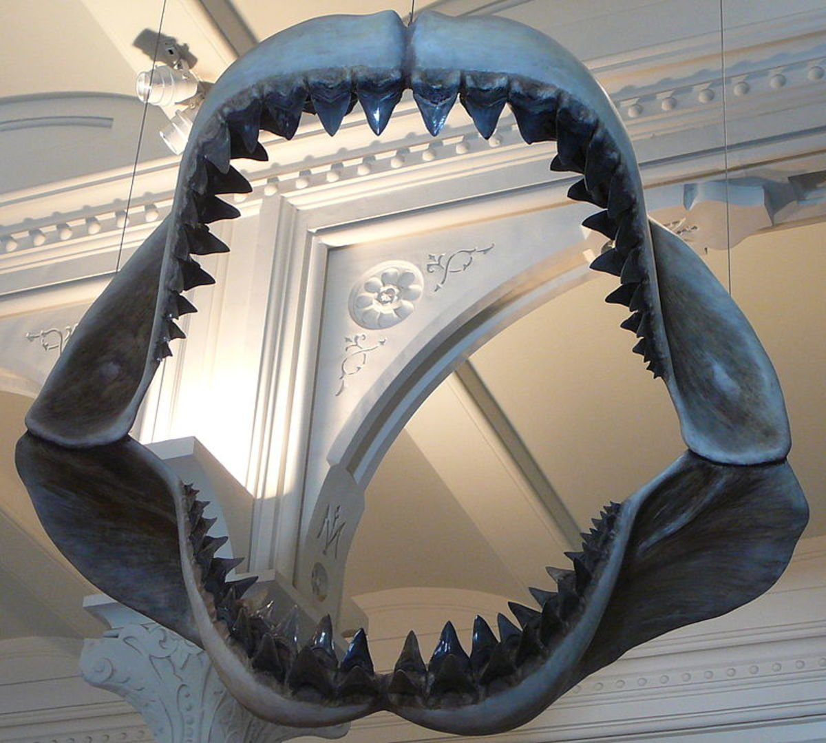 A reconstruction of the largest set of Shark teeth that has ever existed.