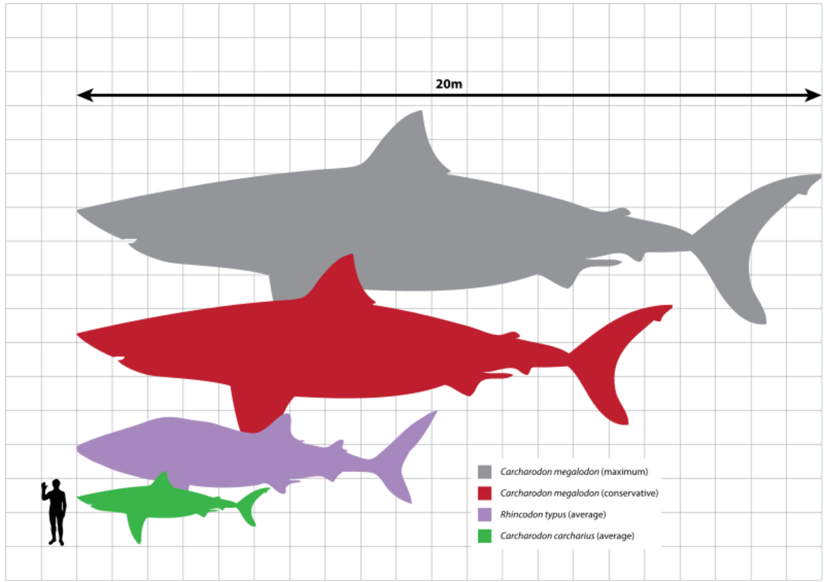 Megalodon largest estimated size (grey), Megalodon smallest estimated size (red), Whale Shark (violet), Great White Shark (green), Human (black).