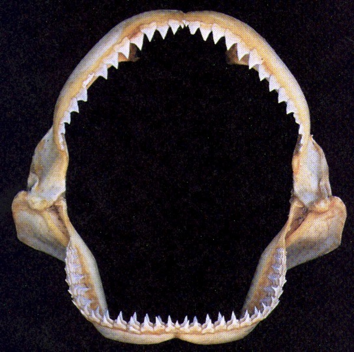 Shark's Teeth