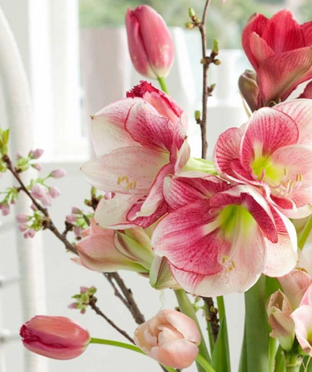 """Amaryllis """"Apple Blossom"""""""