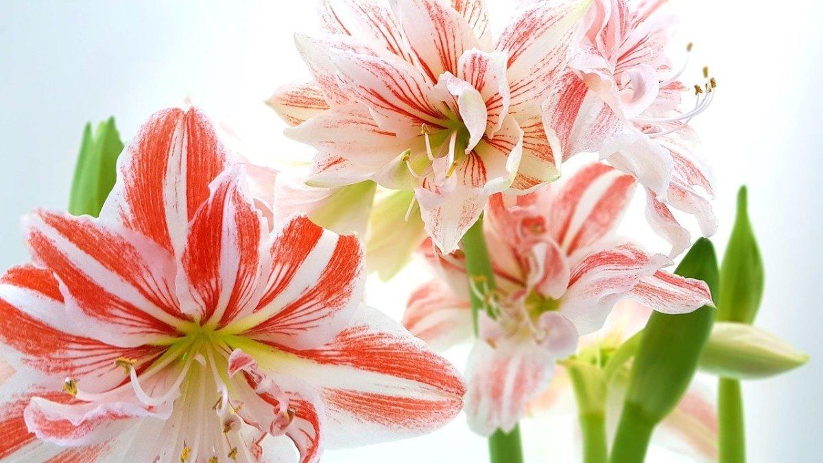 """Amaryllis """"Hippeastrum"""" Flowers"""