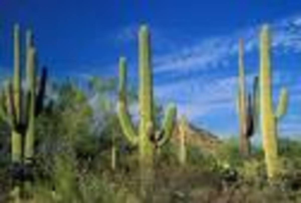 Amidst the Saguaro Cactus, Saguaro National Park, Tucson, Arizona