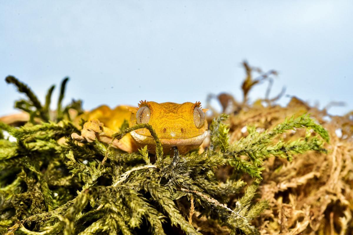 Crested Gecko (Scientific name: Correlophus Ciliatus)