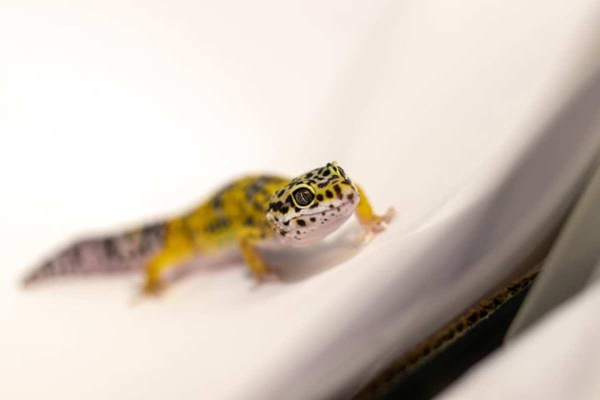 Leopard Gecko (Scientific name: Eublepharis macularius)