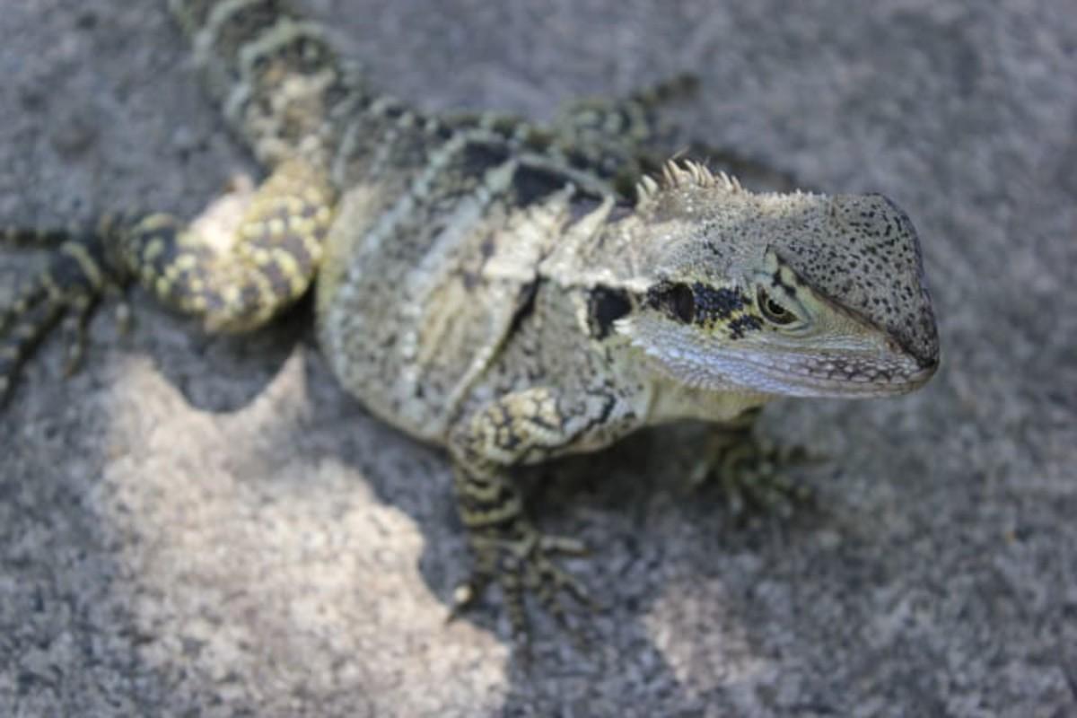 Bearded Dragon (Scientific name: Pogona Vitticeps)