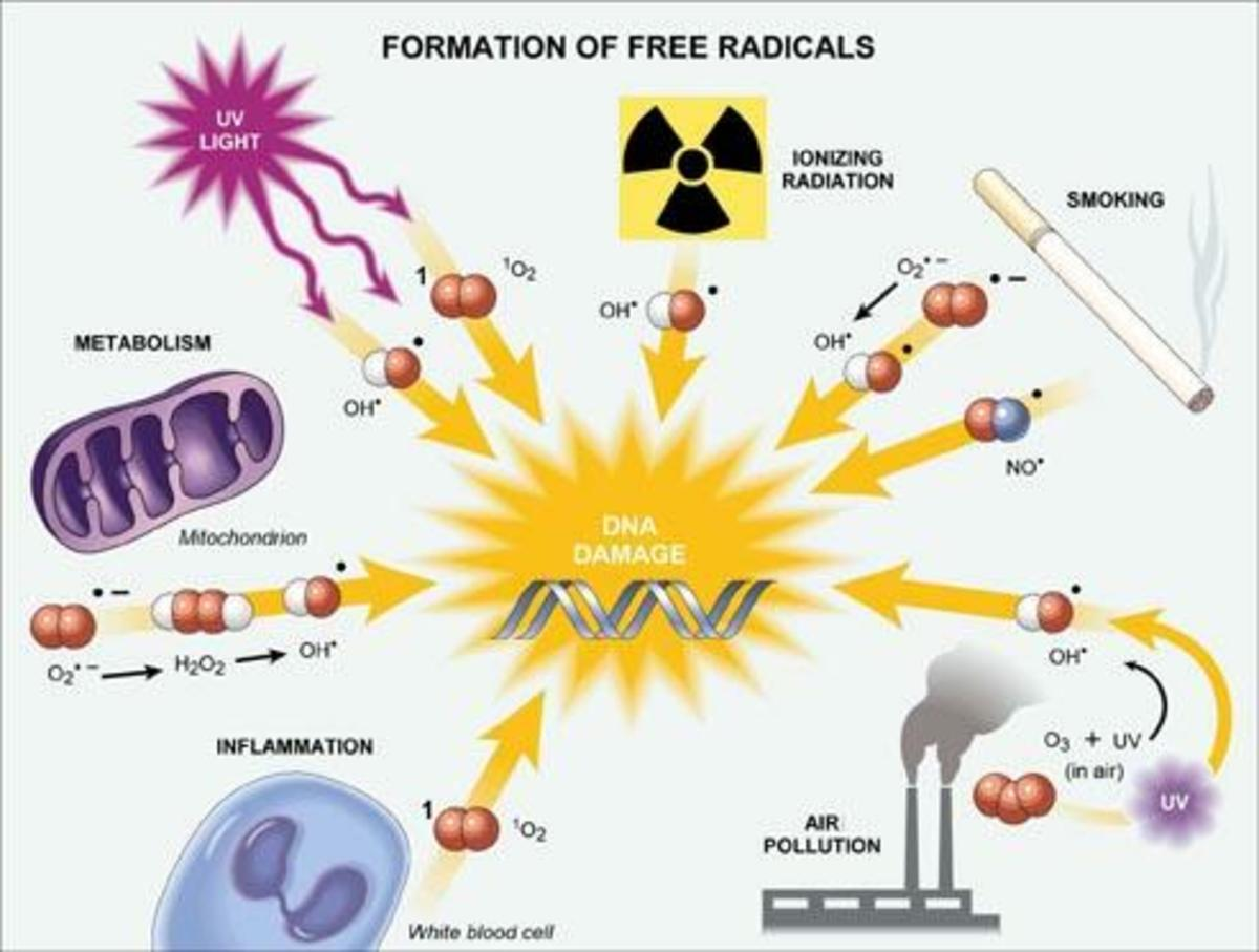 Free Radicals Formation. Human Aging Free Radical Theory.