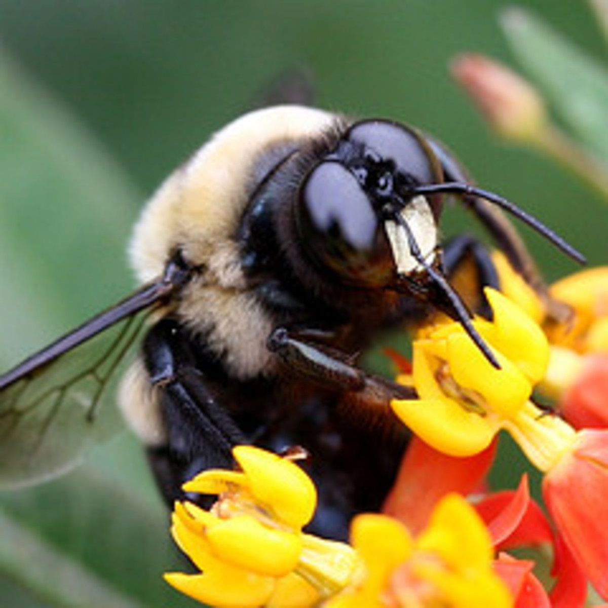 Bee friendly Gardens. Help the Honey Bees  Awesome pictures of  our busy Bumble  and Worker Friends.