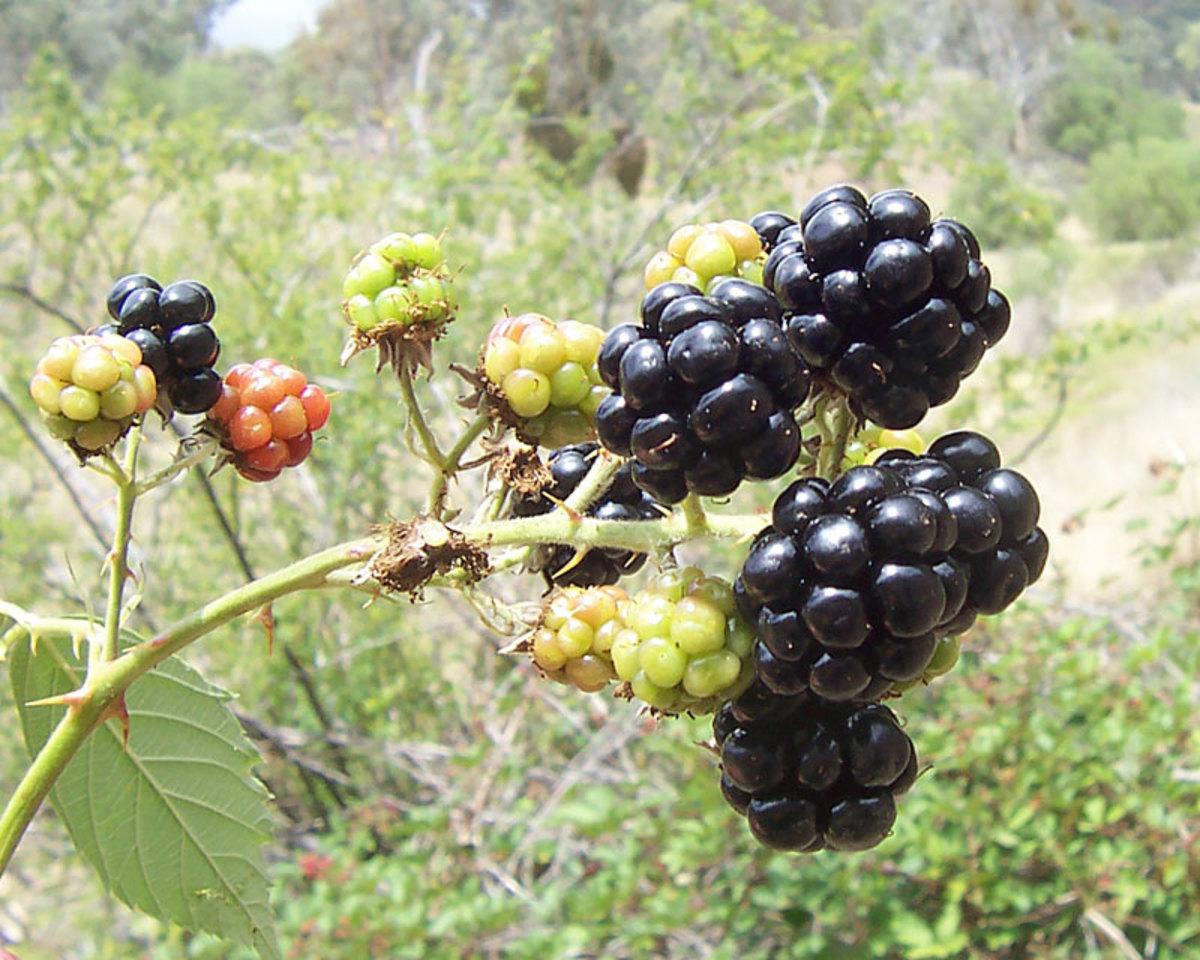 Mmmmm.... blackberries...