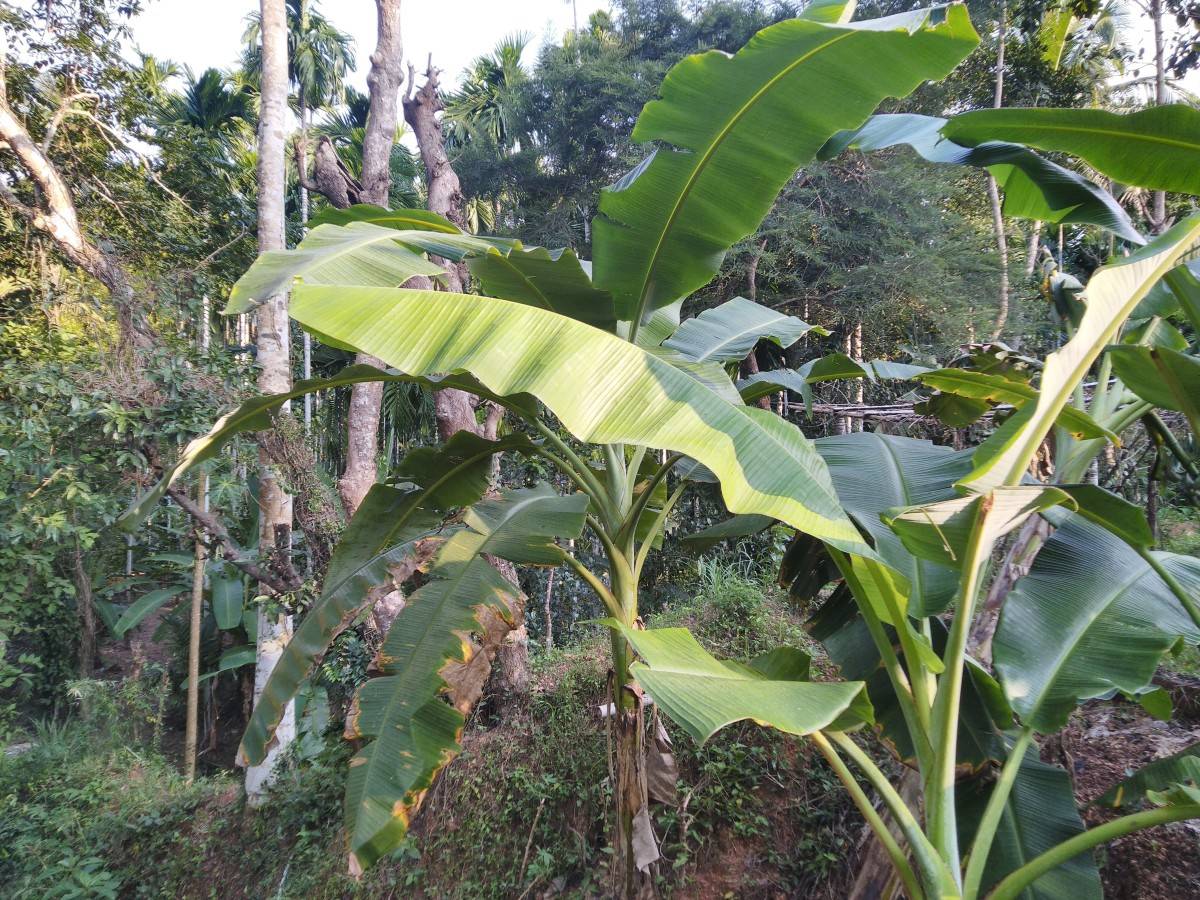 Plantain Leaves for Steam Cooking and Natural Taste