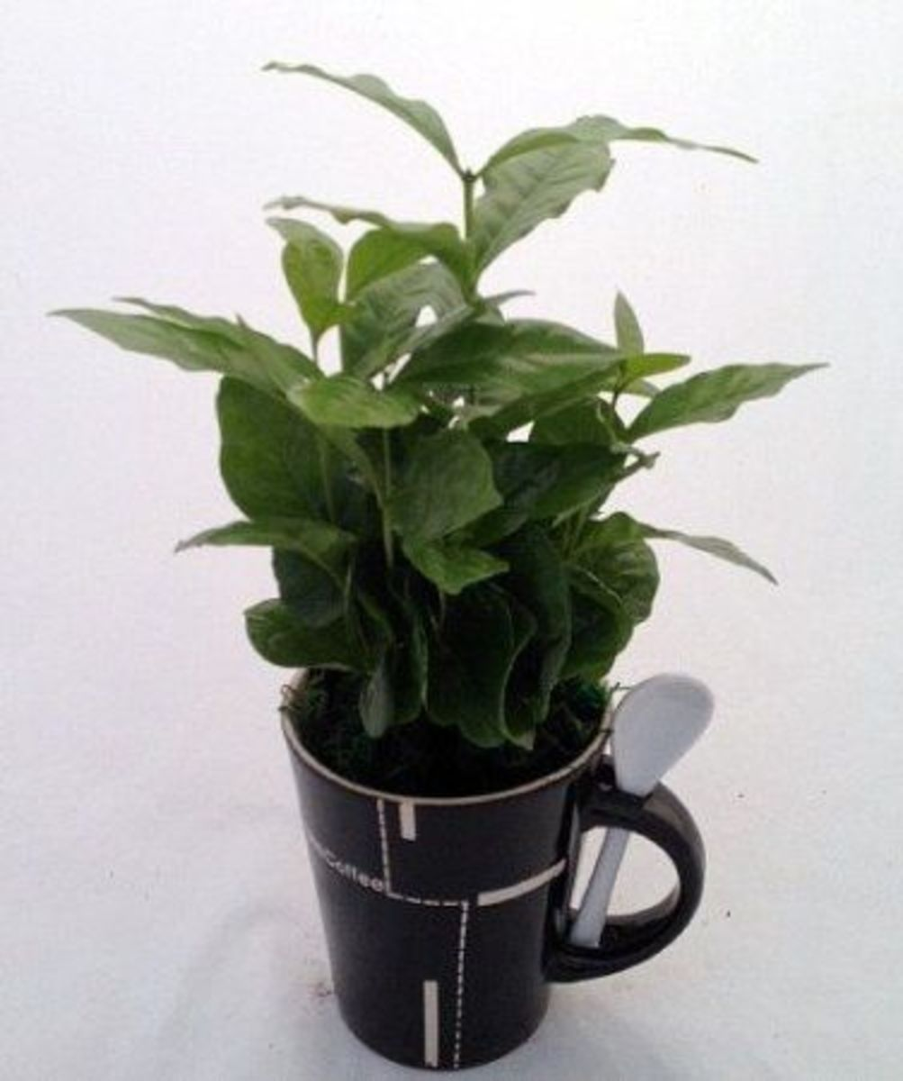 Give The Gift Of A Coffee Bean Tree To Your Coffee Lover - This photo is from Amazon and you can find this gift for sale on this page.