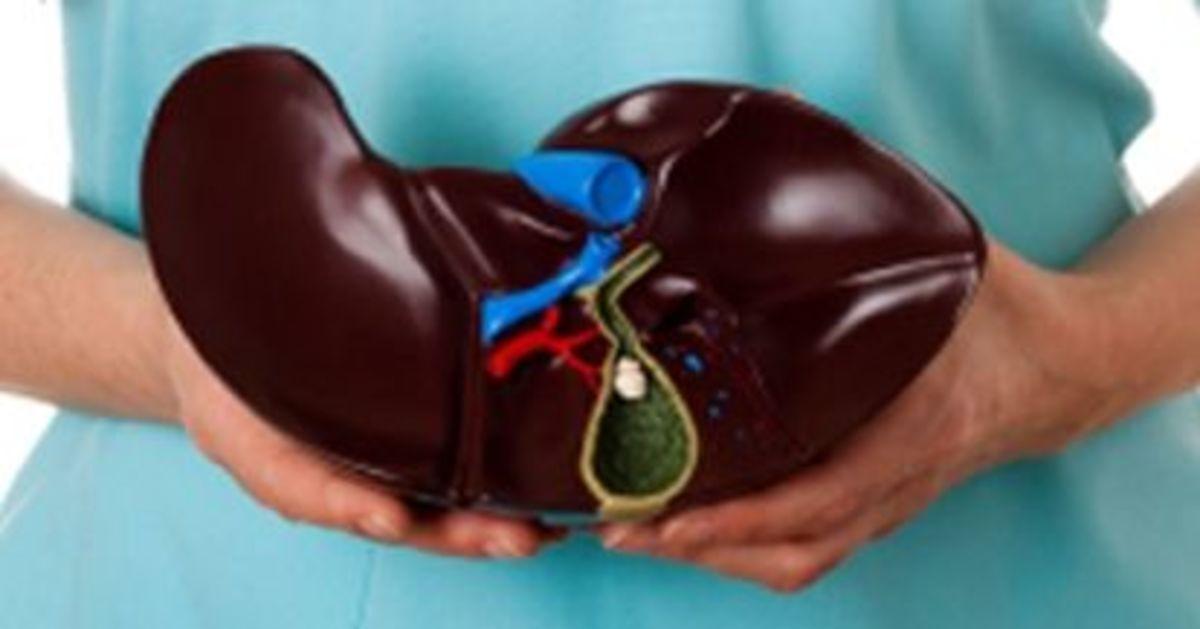 model of a liver with gallbladder
