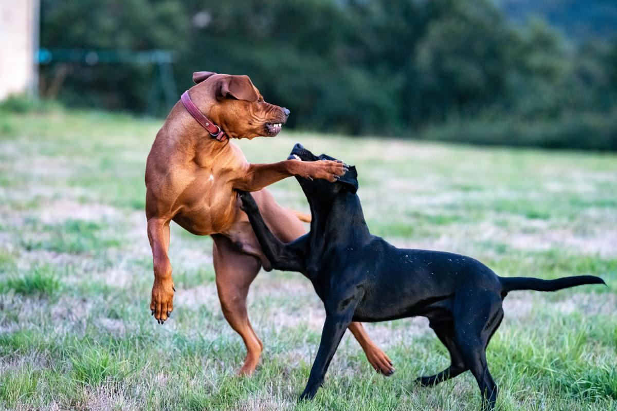 Why Is My Dog Aggressive to Other Dogs?