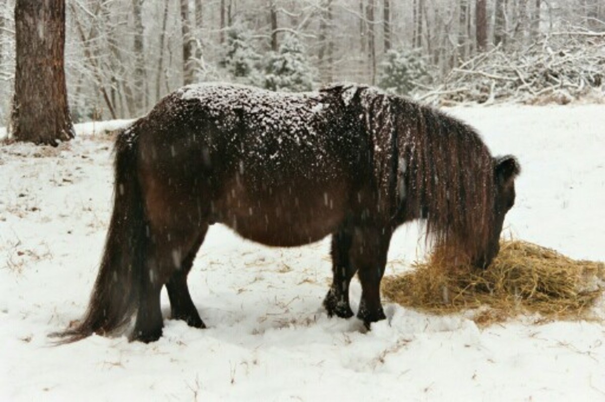 Domino in Winter   photo copyright Donna Campbell Smith