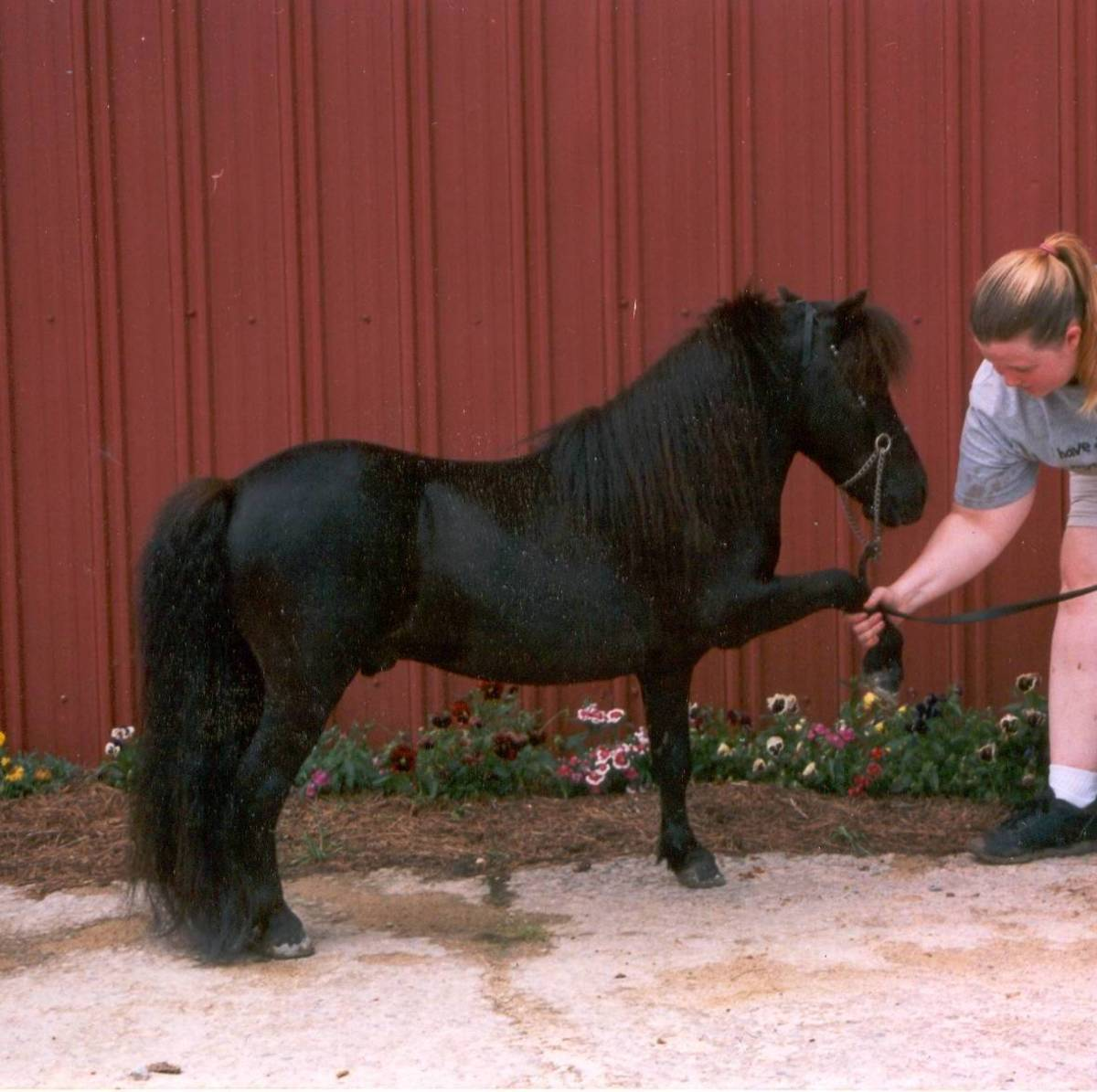 AMHA Domino shakes hands with a friend. photo copyright donna campbell smith