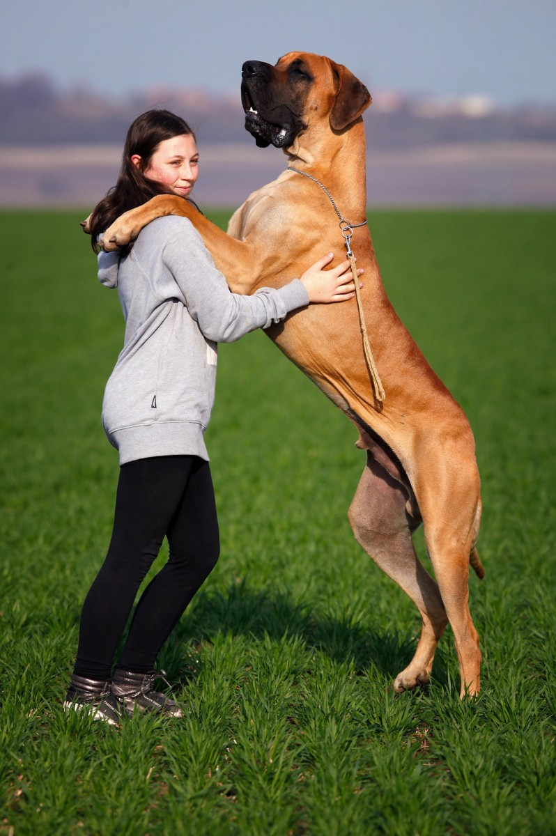Great Danes: What You Need to Know About Them