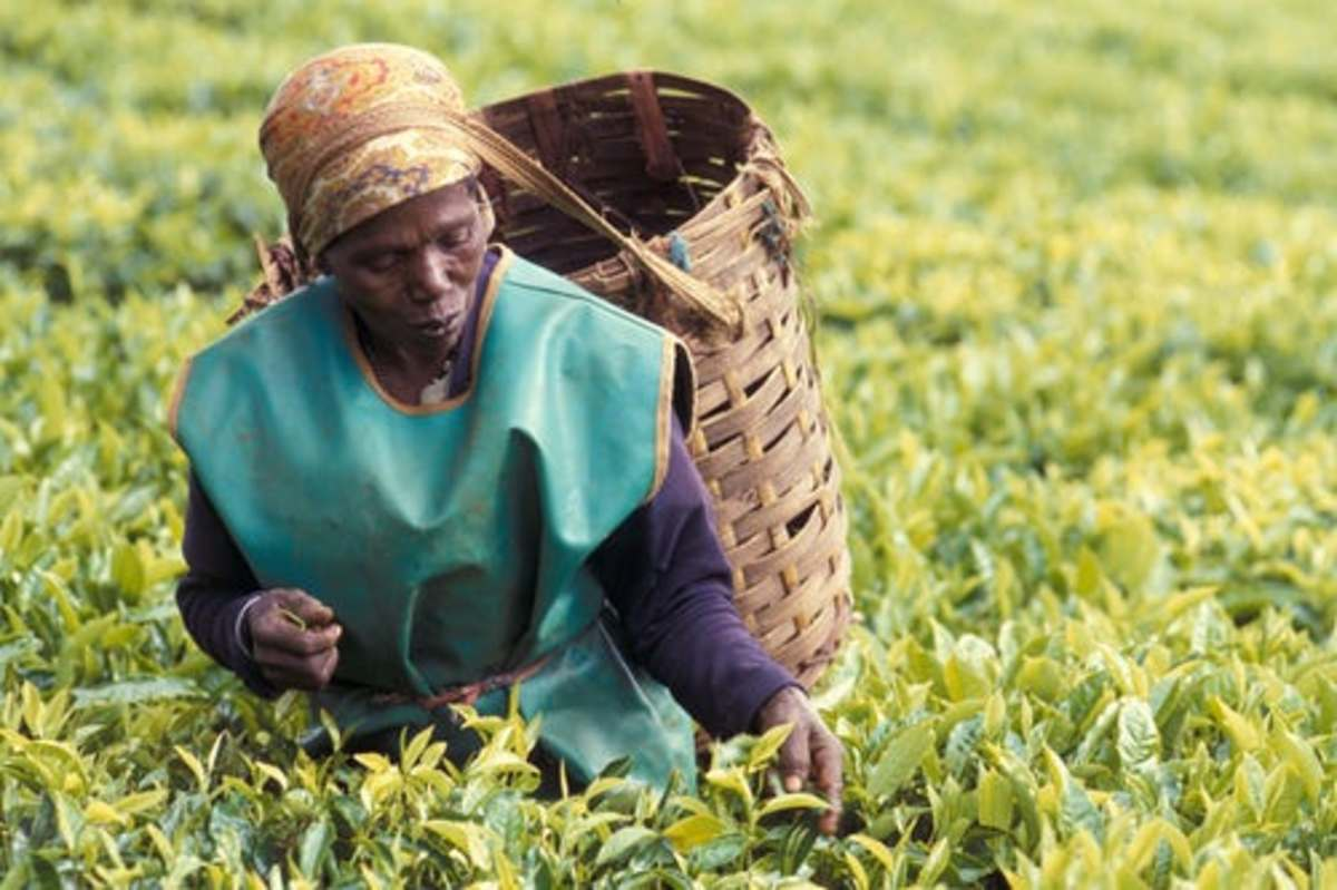 Green tea is being harvest by an Africa-American on agricultural farm