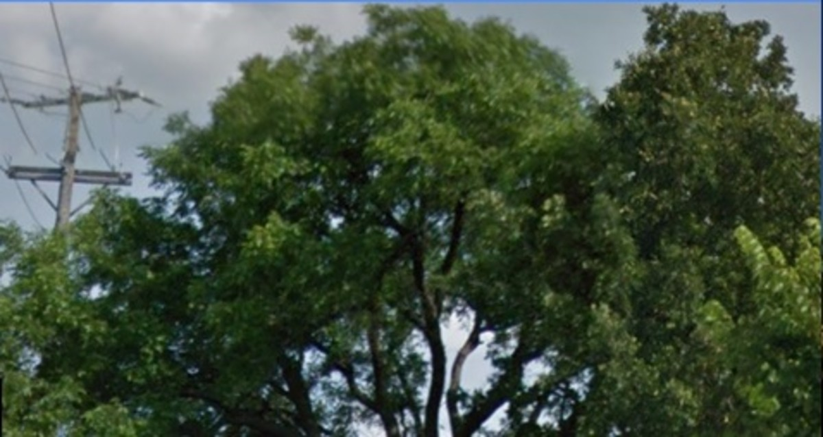 The Magnificent 100 year old Pecan Tree (State tree of Texas) on the N. W. Corner of Hawks Hill at Waketon Road and Long Prairie Road (2499).