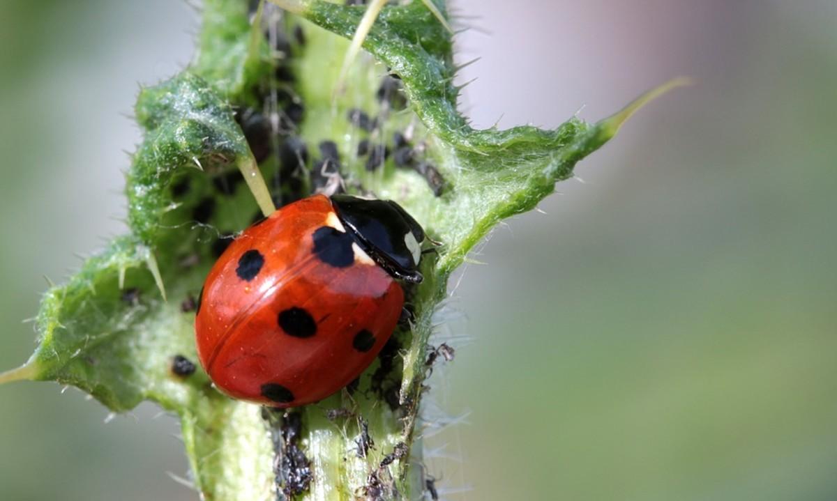 Lady beetle (ladybug) having lunch