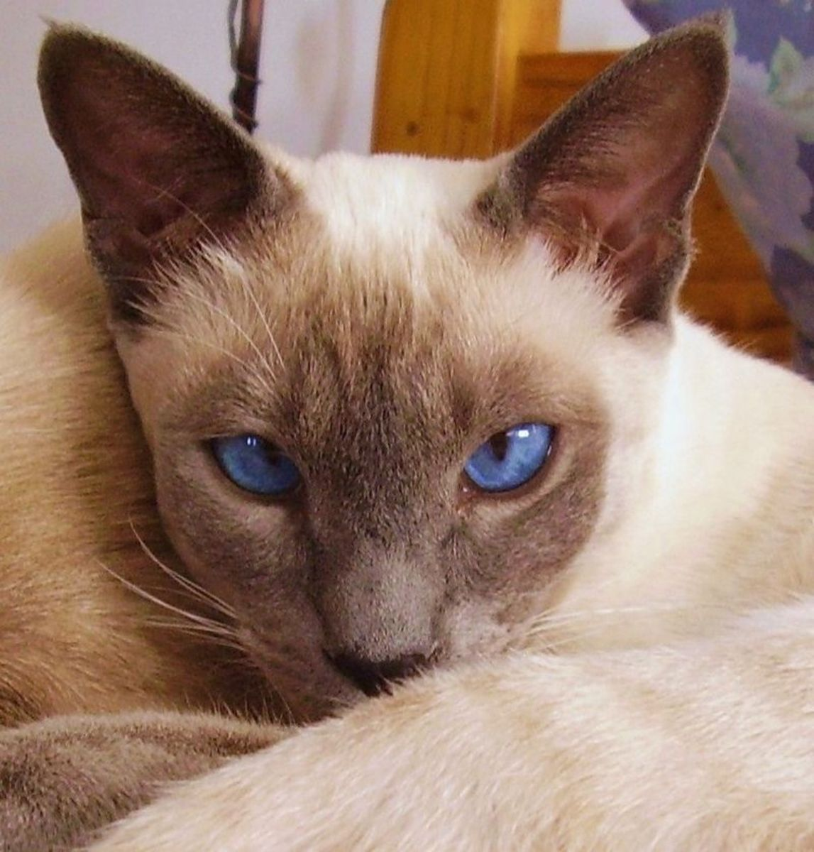 A beautiful Blue Point Siamese
