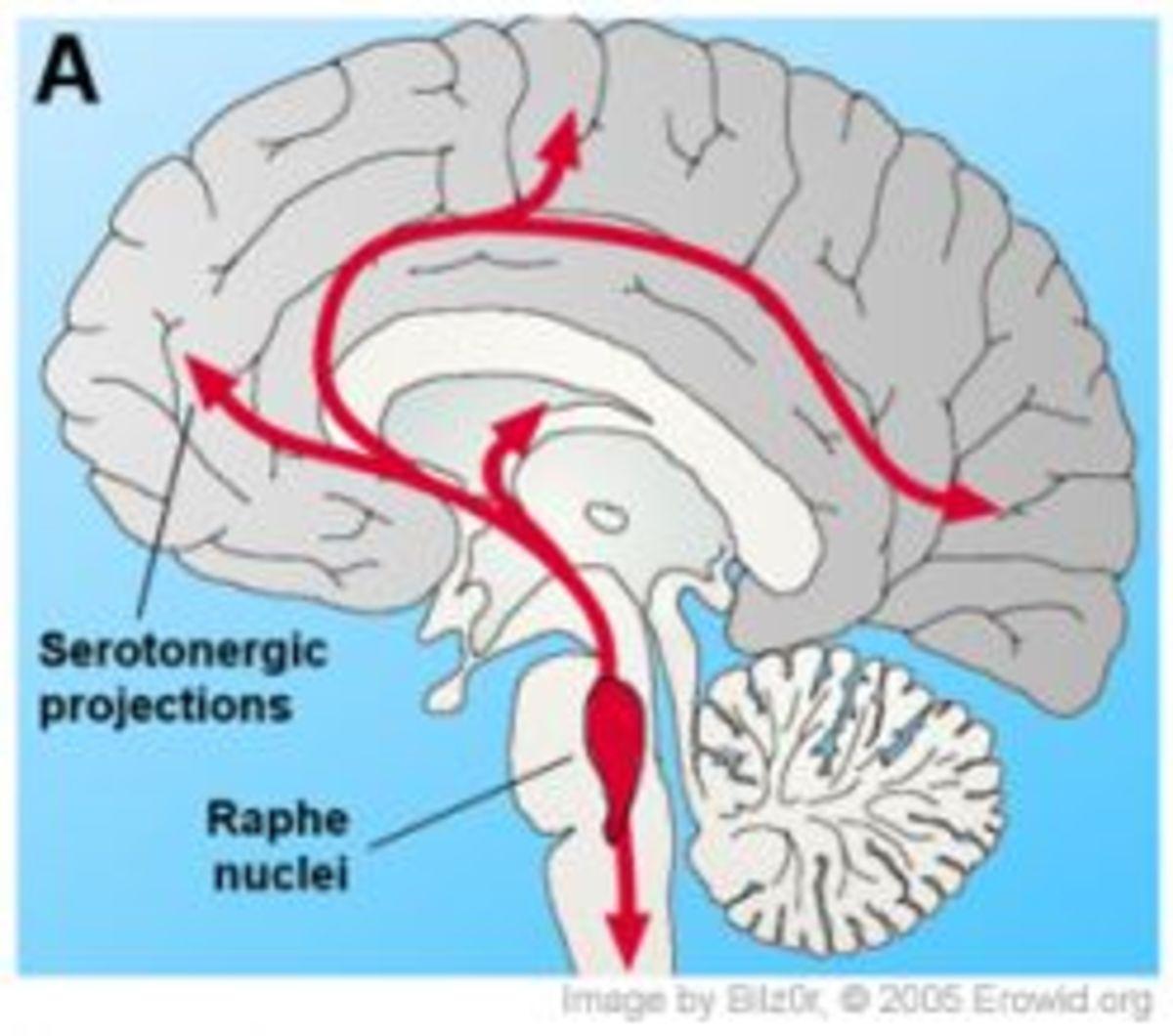 Serotonin Projection in the Brain