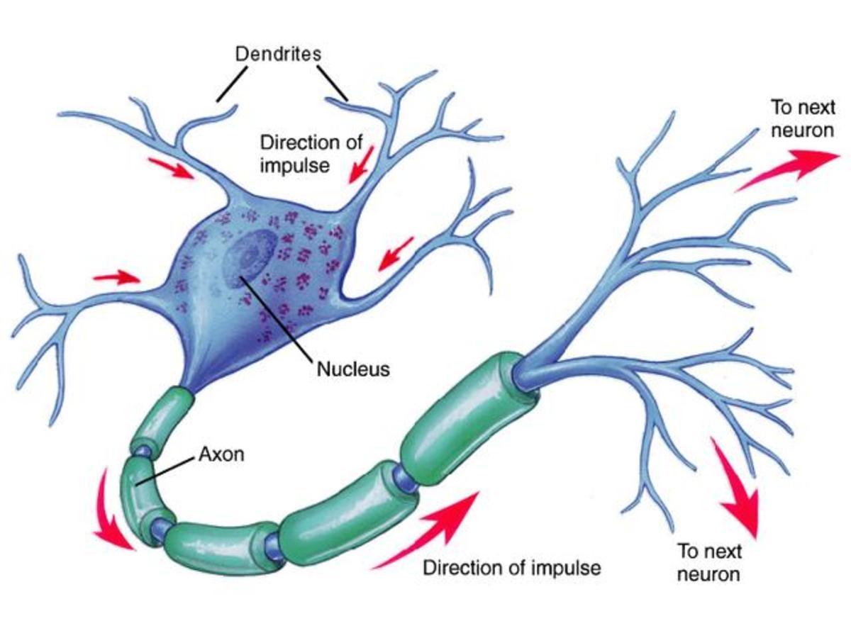 The Brain cell-Neuron