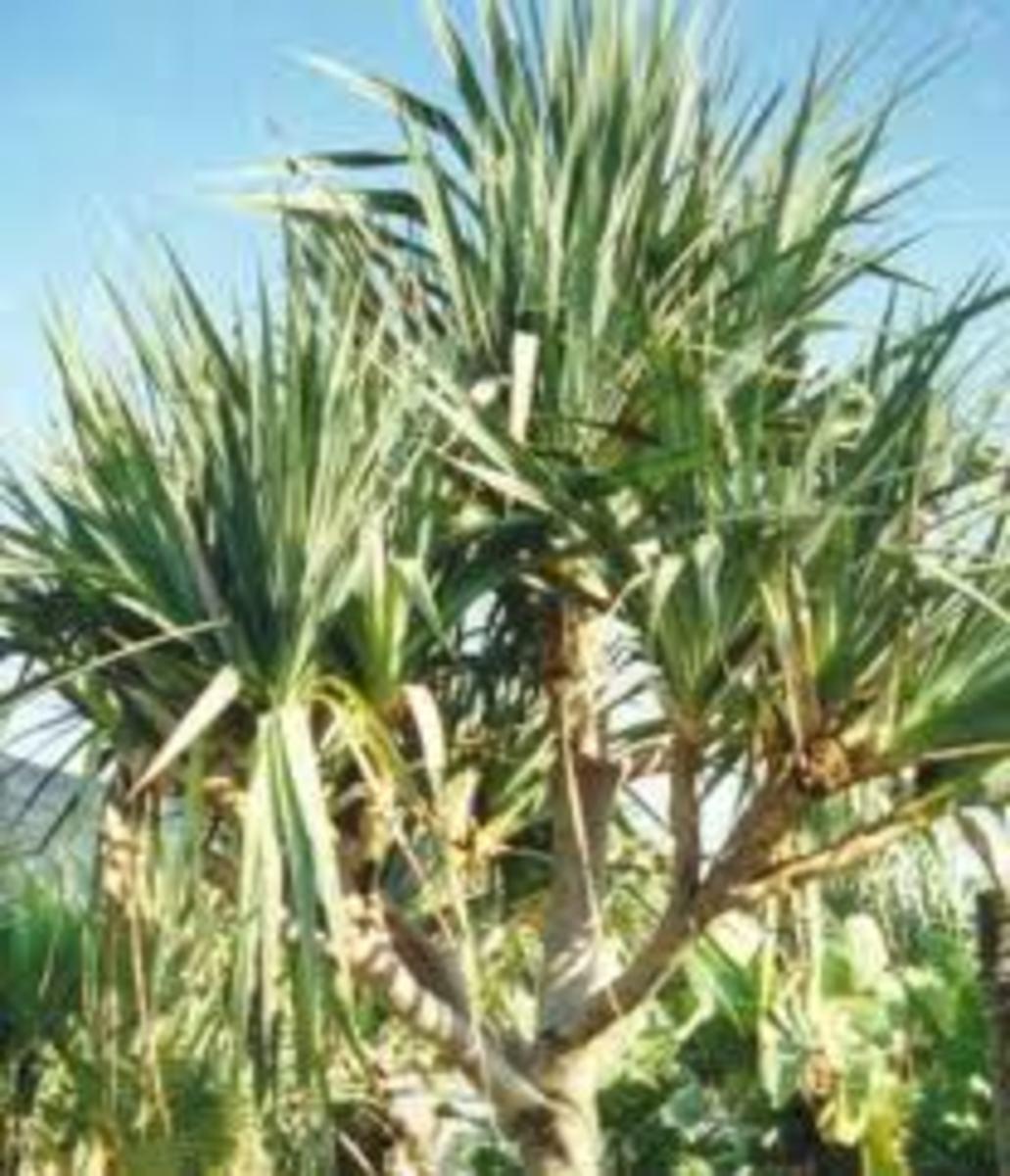 screw pine or pandan