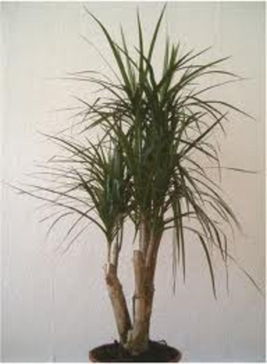 dracaena marginata or Madagascar dragon tree