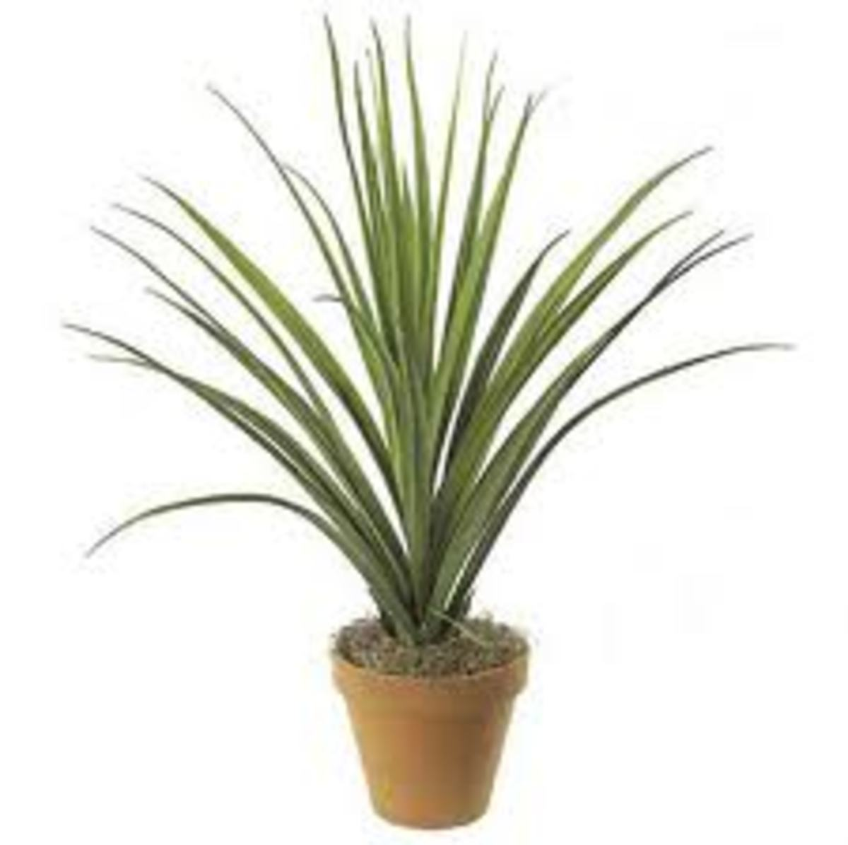 small screw pine plant