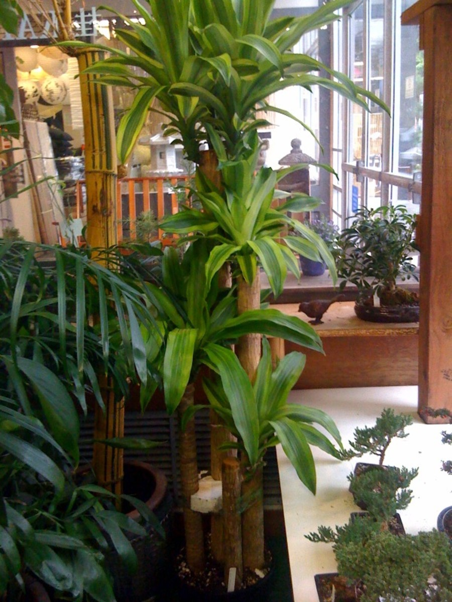 Indoor Trees That Are Hardy and Tough To Kill