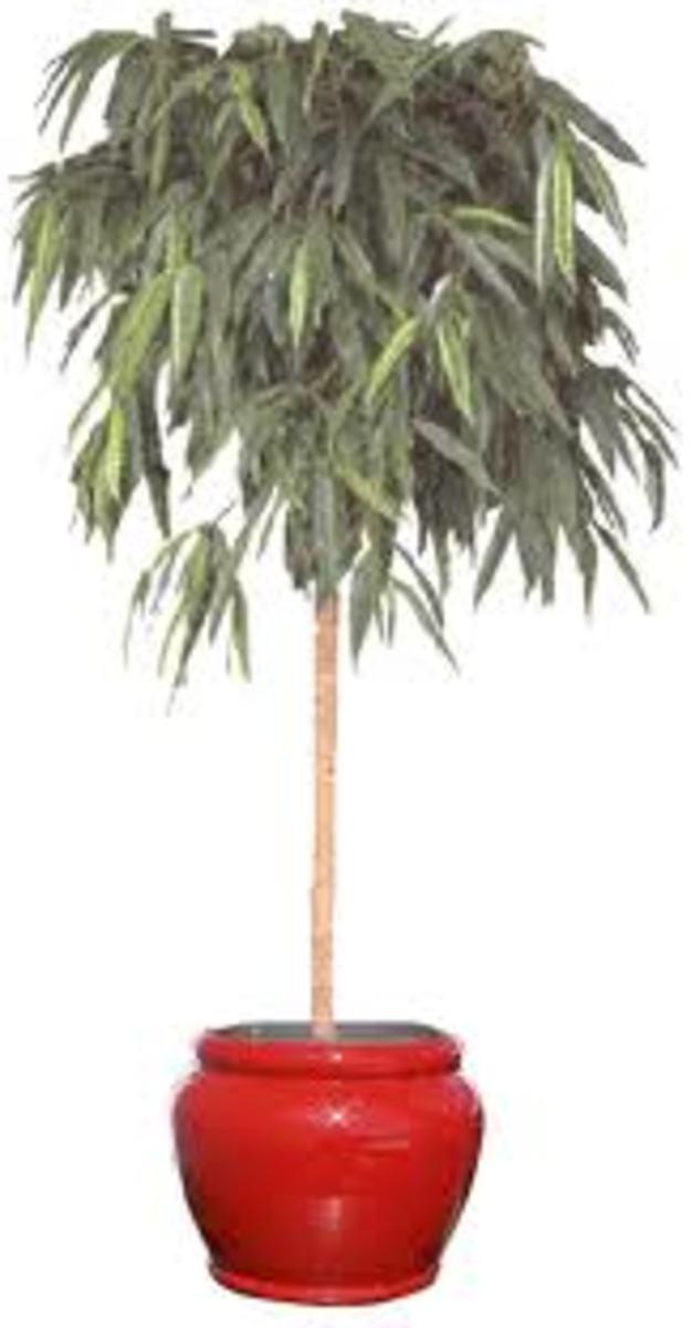 long leaf ficus