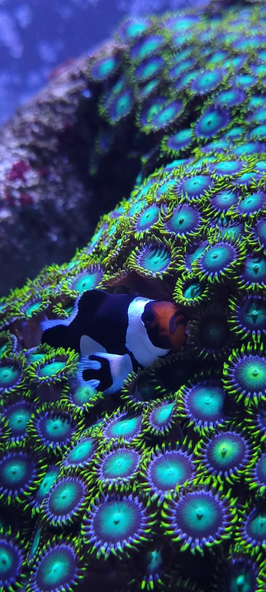 Introducing a Clownfish Pair