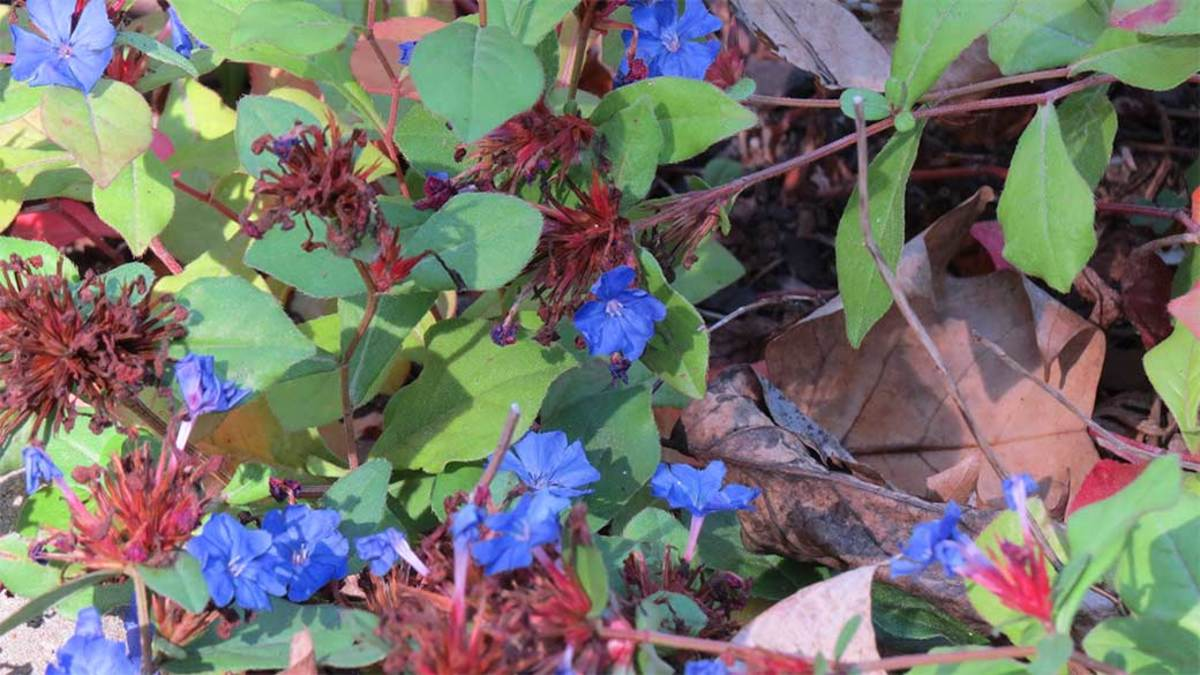 """Don't forget the plants! Here is ground cover Blue Plumbago """"Ceratostigma plumbaginoides"""" (Latin name)."""