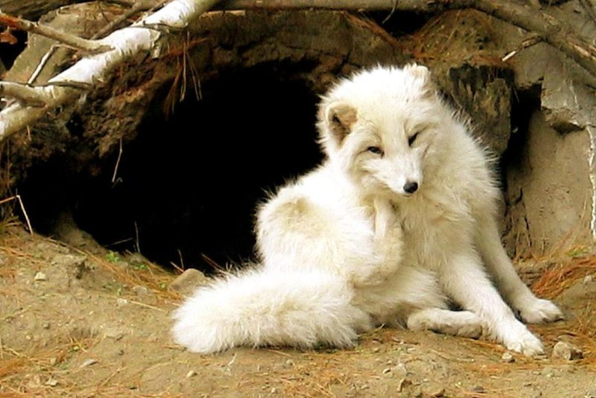 The Arctic Fox Hubpages