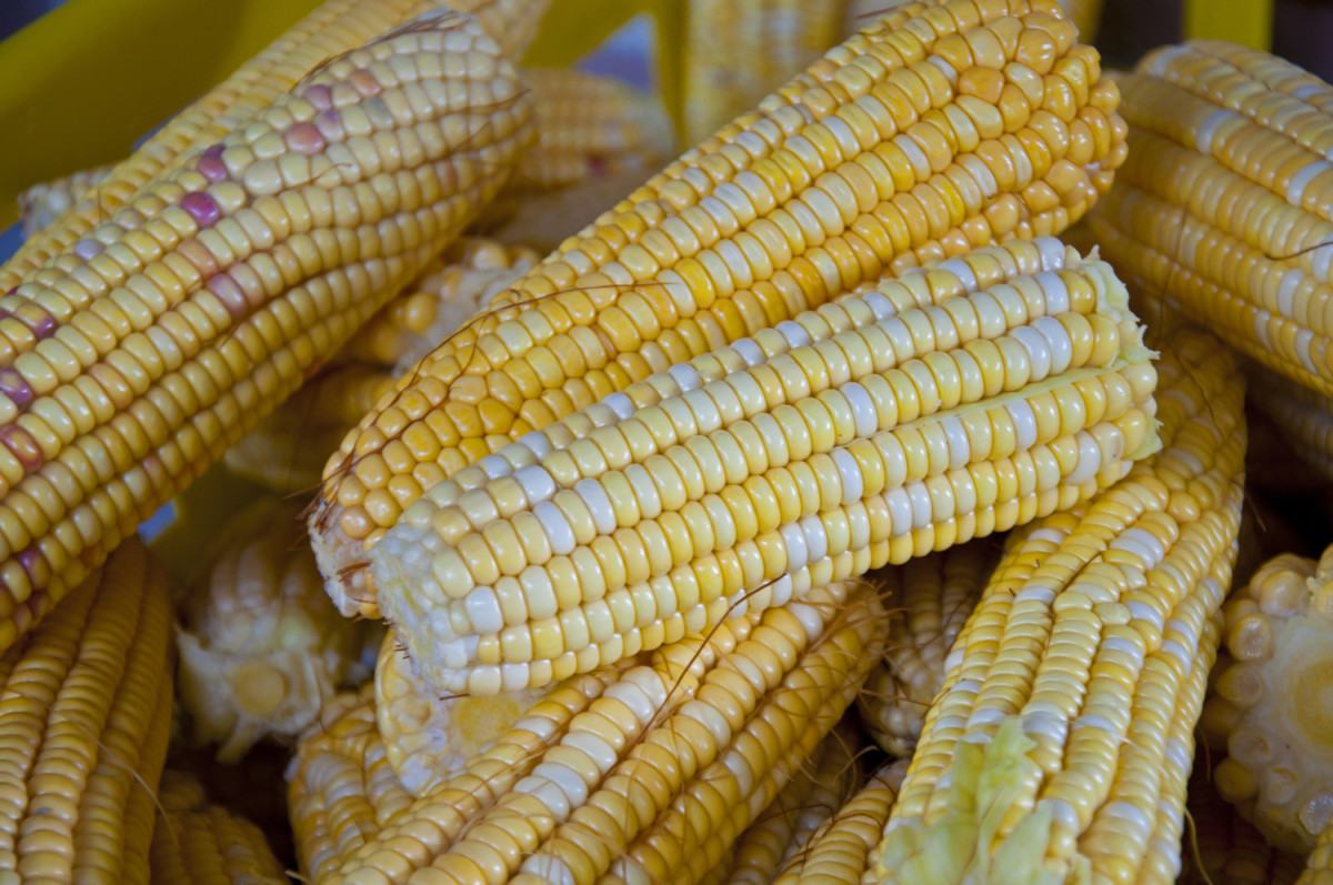 Modern non-hybrid corn from Honduras.  Ancient DNA evident by colored grains.