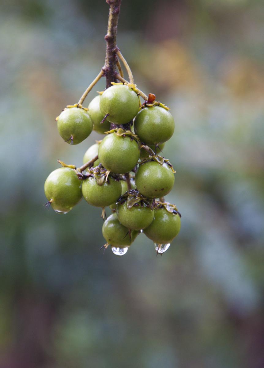 Nances on the tree after a rain.