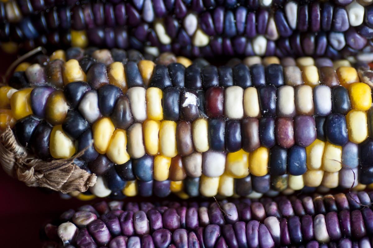 Native multicolored corn, Honduras