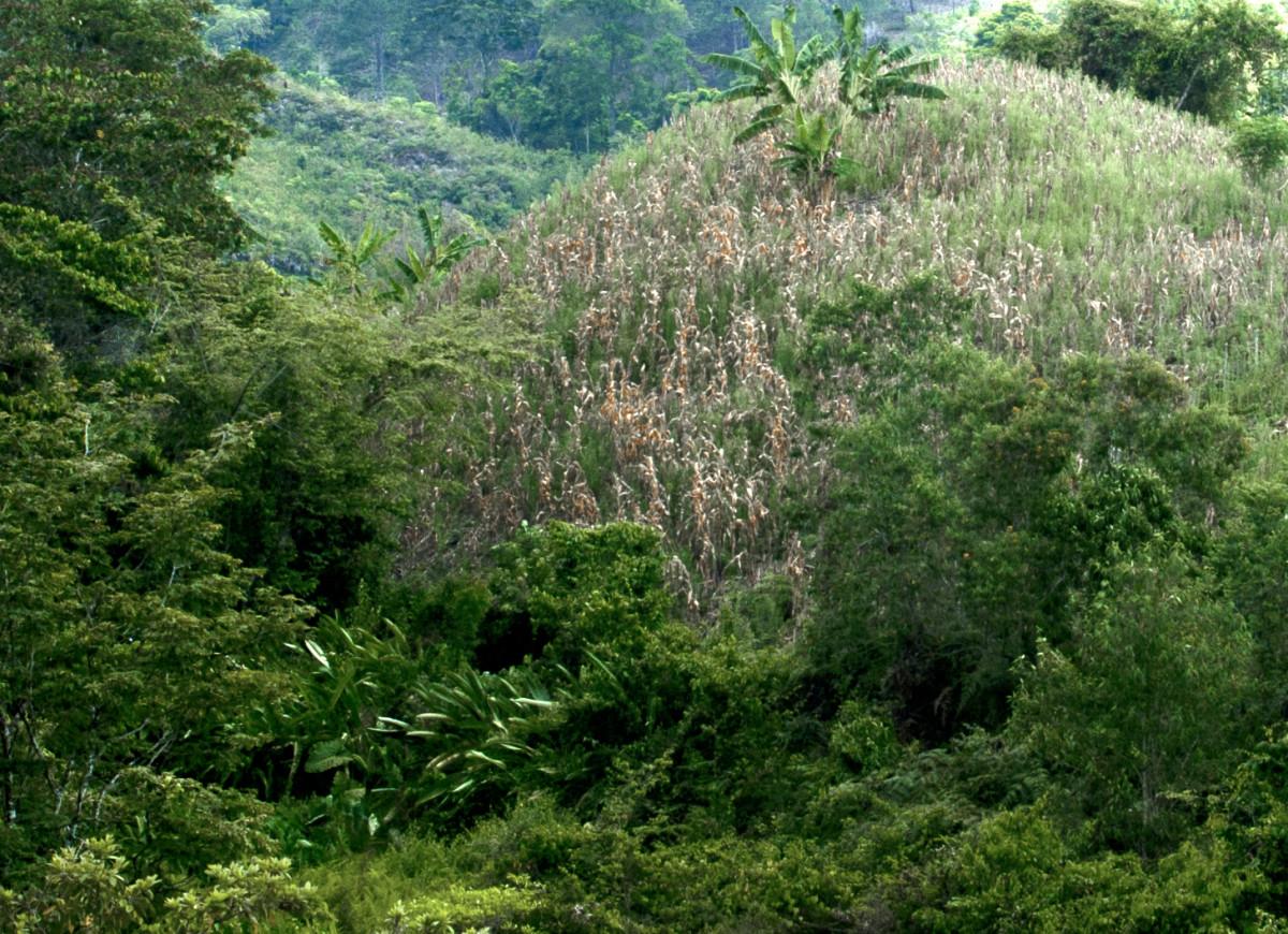 Lenca corn field, near Copán