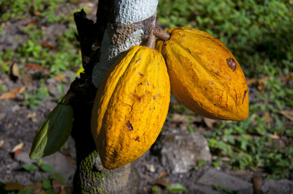 Cacao pods growing among the ruins of Copán.